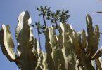 Cactus palmier